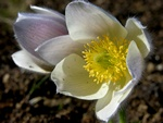 Vr-kobjlde (Pulsatilla vernalis)